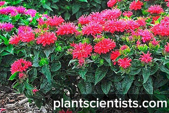 Monarda. Bitki dikimi ve bakımı 38