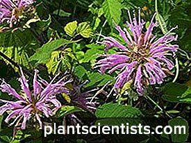Monarda. Bitki dikimi ve bakımı